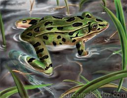 Northern Leopard Frog by Aaron-con-pollo