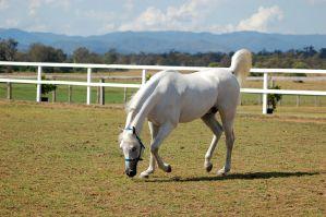 GE Arab white small trot head lowered to ground by Chunga-Stock