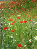 Poppy field by CAStock