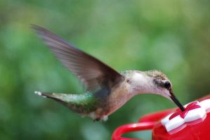Silky Hummer by JulieaCafe
