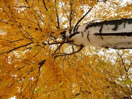 Birches in autumn by Betagalactosidase