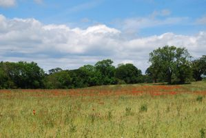 Field of Poppies by mr-macd