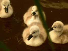 Cygnets by melrissbrook