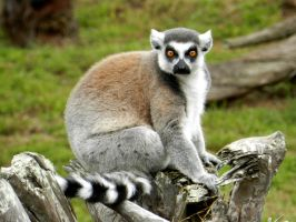 Ring-tailed Lemur by bronze-dragonrider