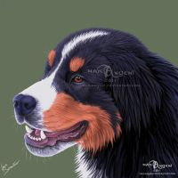 Bernese Mountain Dog by makangeni
