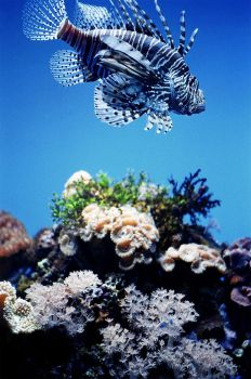 Lionfish and Reef by serp8ine
