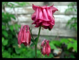 Pink Columbine by sej