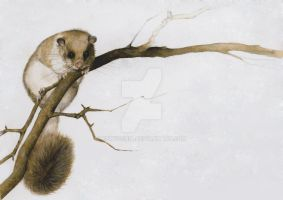 Glis glis - edible dormouse 1 by EpHyGeNiA
