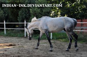 Dappled Grey Stallion 6 by Indian-Ink