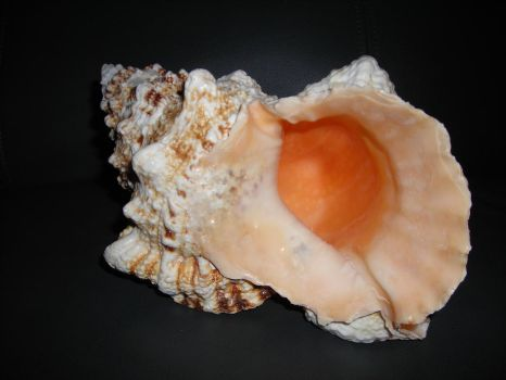 Coral Shell by Zet206