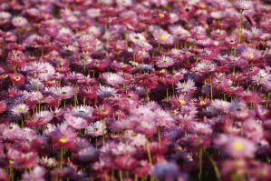 Sea Of Pink by CassandraLeigh