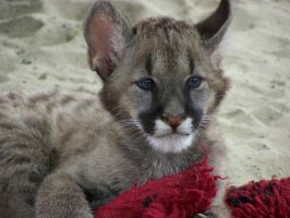 baby puma by LidiaL
