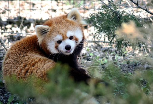 red panda. by theycome