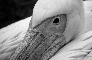 Eastern White Pelican by andy1349