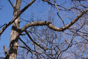 Catalpa Tree 03/27/2015 by tessabe