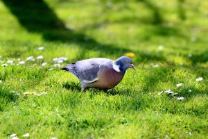 lonesome pigeon by pagan-live-style