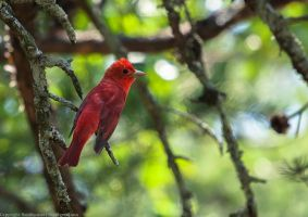 Summer Tanager by rctfan2