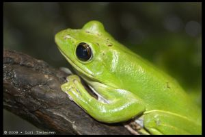 Green Tree Frog 2 by Vamppy