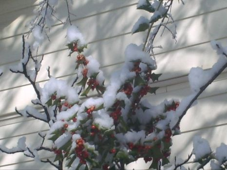 Snowy Holly by pictures-in-my-head