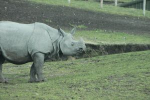 Indian Rhinoceros by Skarkdahn
