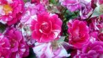 Roses by valsomir