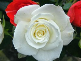 white rose by pinkcat07