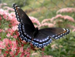 Red Spotted Purple 04 by Thy-Darkest-Hour