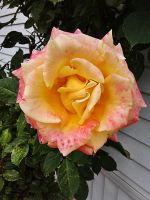 Pink and White rose 2 by aTigersChild