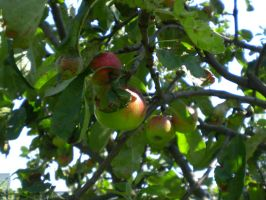 Apple tree by xLaRiex