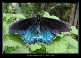 Pipevine Swallowtail III 9856 by Eolhin