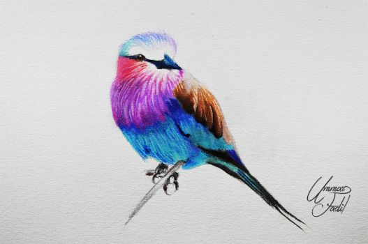 Lilac breasted roller -- Prismacolor pencils. by f-a-d-i-l
