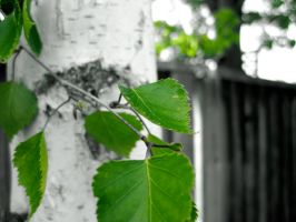 Oh Green, Green Birch Leaves by Solitude12