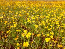 Field Of Yellow by TheGerm84