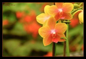 Orchid 5 by ShlomitMessica