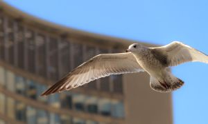 Gull near Toronto City Hall by imladris517