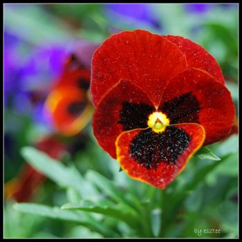 pansy flower :) by esztee