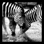 Zebra.. by My-Friends-Are-Owls