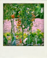 Tomato. by bymee