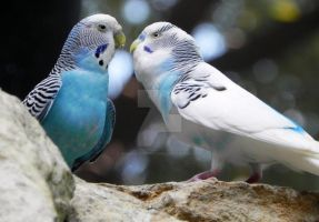 Budgie Love by Passion-For-Pictures
