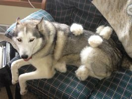 Trouble with husky tribbles by t-subgenius