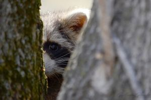 Shy raccoon by GuillaumGibault