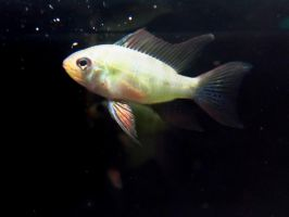 Female Blue Ram Cichlid 2 by koshplappit