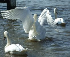 .Swan wings 2. 0050 by DelinquentDog