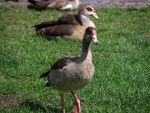 Goose 04 by Pagan-Stock