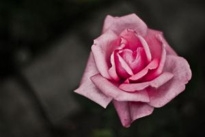 Nature Life - Rosa Rose by Maci1702
