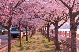 Cherry Blossom Walk by FairyOnTheInside