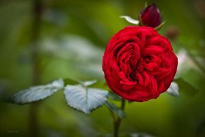 rose 5 by RaMaKrAmA