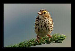 Savannah Sparrow by tisbone