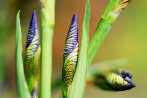 The Magic of Irises 4 by SmileyG
