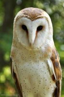 Barn Owl by Chelsey-Dunn